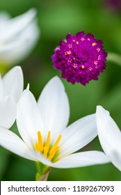 Close up white rain lily flower and globe amaranth flower in vertical composition