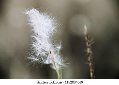 Close Up White Reeds