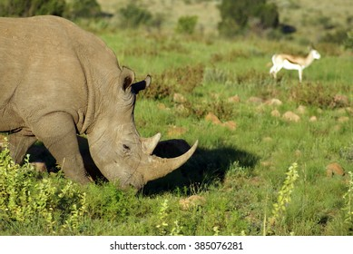 Close up of white rhino in Pilanesberg Game Reserve, South Africa