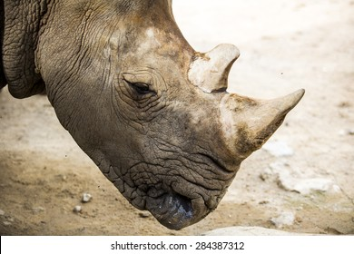 Close up white rhino in the zoo.
