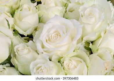 close up white rose