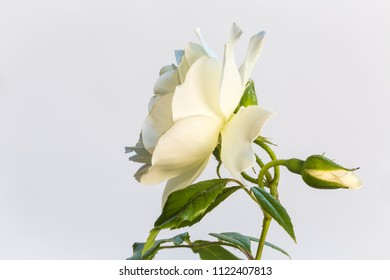 Close up of a white rose, a classic symbol flower for virgin and purity, often use in weddings