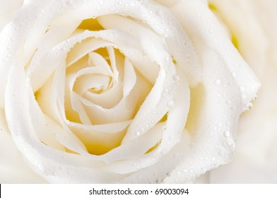 Close up of white rose with dew