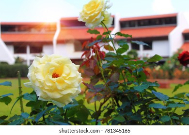 close up white rose in Khao Kho Royal Palace at Khao Kho mountain Phetchabun at Thailand,morning in park outdoor and beautiful flower