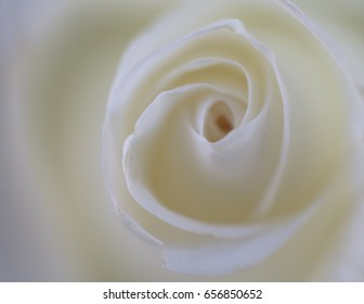 Close up white Rose on softly blurred background