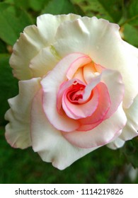 Close up of a white rose with pink patel in the center.