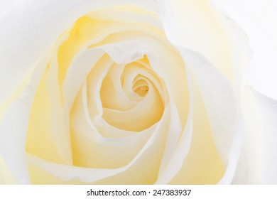 Close up White rose texture nature background.