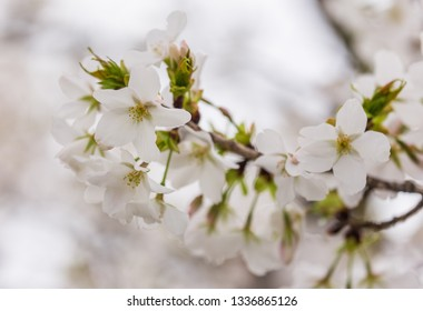 close up white sakura  (Somei Yoshino) blossom near Osaka castle
