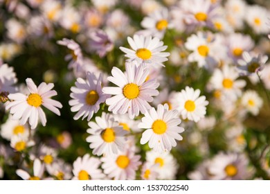 Close up of white Shasta daisy flowers