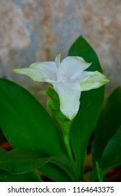 Close up white Siam tulip (Siam Tulip Curcuma Alismatifolia) in Thailand
