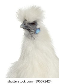 Close up of a White Silkie Hen isolated on white