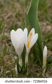 Close up of white spring crocus