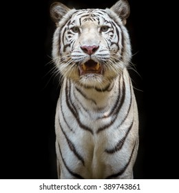 Close up white tiger