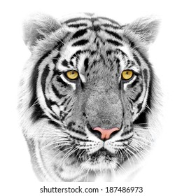 Close up white tiger face, isolated on white background.