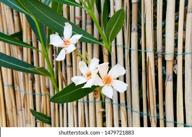 close up of white vinca flower in bamboo fence