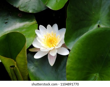 Close up of a white water lily  or European white water lily or white water rose or white nenuphar (Nymphaea alba)