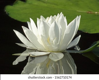 Close up of a white water lily in North Shattuck Lake, New Auburn, Wisconsin