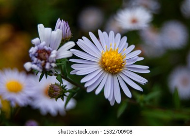 Close up of a white and yellow shasta daisy in the foreground with other daisies out of focus in the background
