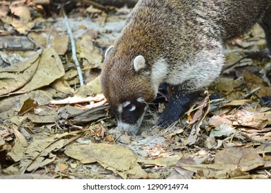 Close up of a White-nosed Coati digging with its nose to forage for food on the rainforest floor of Costa Rica.