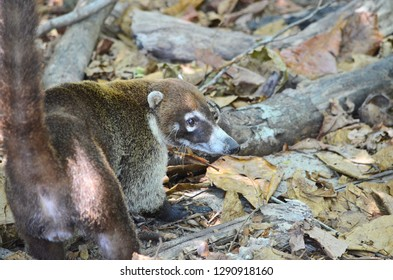 Close up of a White-nosed Coati looking up after foraging for food on the rainforest floor in Costa Rica.