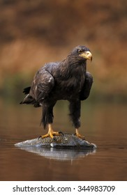 Close up White-tailed Eagle with a fish prey on water surface in small lake in the autumn forest with talons and outstretched wings, with orange colorful background.