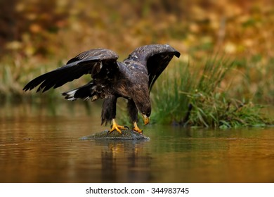 Close up White-tailed Eagle with a prey on water surface in small lake in the autumn forest with talons and outstretched wings, with orange colorful background.