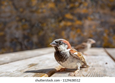 Close up wide angle shot of House Sparrow (Passer domesticus), Wales, UK