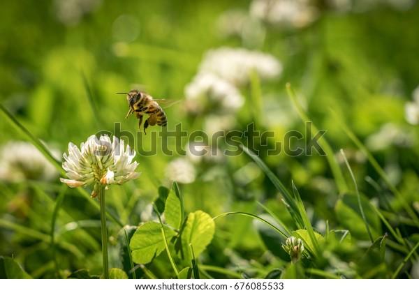 Close up of wild bee in mid-air next to a clover flower. Summer garden shot.