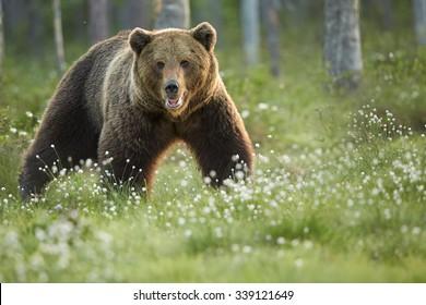Zblízka fotografie divokého, velkého medvěda hnědého, Ursus arctos, muž v pohybu, zírající přímo na kameru. Arktická louka s kvetoucí trávou osvětlená časným ranním barevným světlem. Wildlife, evropská tajga.