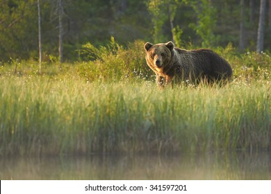 Close up wild, big  Brown Bear, Ursus arctos, male on the bank of lake, staring directly at camera. Arctic meadow with flowering grass lit by early morning colorful light. Wildlife, european taiga.