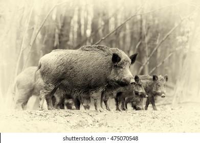 Close wild boar in autumn forest. Vintage effect