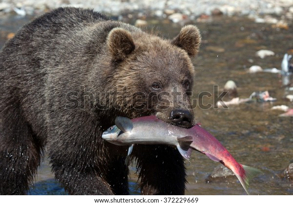 Close up wild brown bear with fish salmon in Kamchatka in Russia