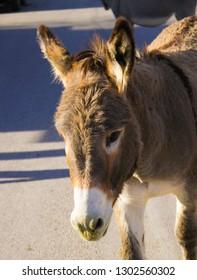 Close up of wild burro in Oatman, Arizona along Route 66