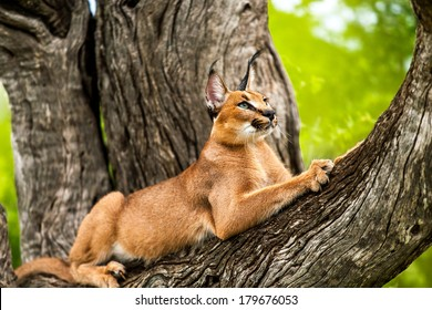Close up of wild caracal cat stretching in tree.
