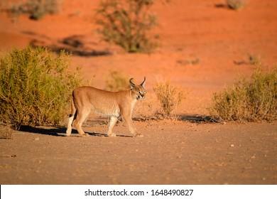 Close up wild Caracal,  shy desert lynx in early morning typical desert environment against reddish dunes of Kgalagadi transfrontier park.  Traveling Kalahari, Botswana.