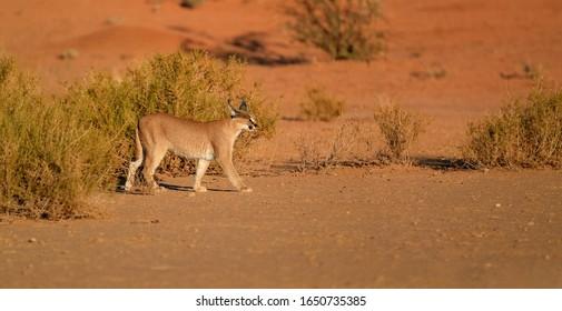 Close up wild Caracal, shy desert lynx in typical arid environment against reddish dunes of Kgalagadi transfrontier park.  Panoramic photo. Traveling Kalahari, South Africa, Botswana.