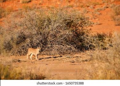 Close up wild Caracal, shy desert lynx, walking on sand against arid plants of reddish dunes of Kgalagadi transfrontier park.  Desert animal in environment of Kalahari, South Africa, Botswana.