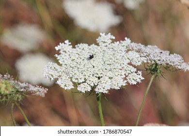 Close up of  Wild carrot flowers (Daucus carota) Healing plants. A medical plant in Europe.