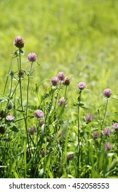 Close up of wild clover growing in the tall grass