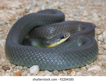 Close up of a wild coiled snake - Eastern Yellow-bellied Racer, Coluber constrictor flaviventris