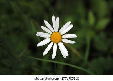 Close up of a wild daisy flower head from above on a meadow and green leaf background bokeh