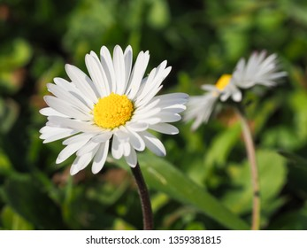 Close up of wild English daisy flowers, head are composite with white-pink ray flowers with yellow disk. Bellis perennis is a common European species of the Asteraceae family. Bruisewort or woundwort.