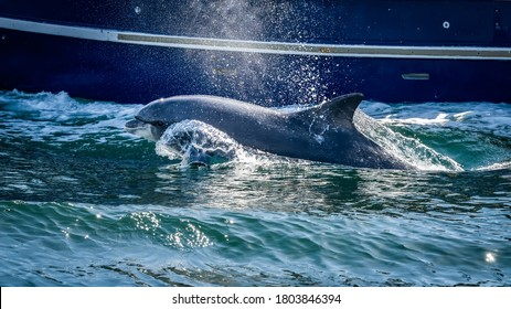 Close up of wild Fungie Dolphin, Tursiops Truncatus, swimming and splashing water near boat. Spotted near Dingle bay, County Kerry, Ireland