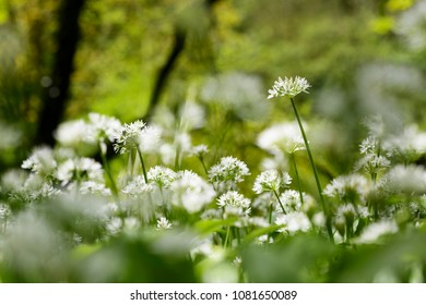 Close up of Wild Garlic Growing in Ancient Deciduous Woodland in the United Kingdom