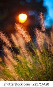 Close up of wild grass at sunset