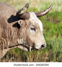 A close up of a wild longhorn bull standing in grassy field in the Wichita Mountains / Old White Colored Wild Longhorn Bull / Wild Longhorn Bull