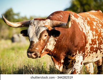 A close up of a wild longhorn bull standing in grassy field in the Wichita Mountains / Big Red / Wild Longhorn Bull