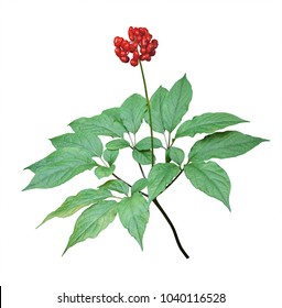 A close up of the wild most famous medicinal plant ginseng (Panax ginseng). Isolated on white