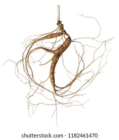 A close up of the wild most famous medicinal plant ginseng (Panax ginseng). Isolated with a root