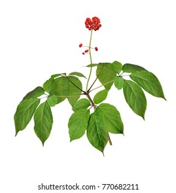 A close up of the wild most famous medicinal plant ginseng (Panax ginseng). Isolated